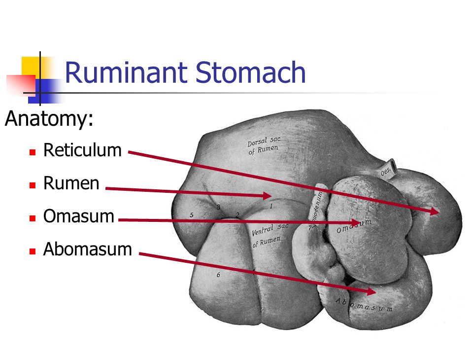 Ruminant Digestive System Ppt Video Online Download