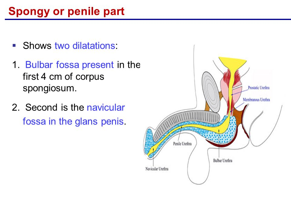 Anatomy Of Urinary Bladder Urethra Ppt Video Online Download