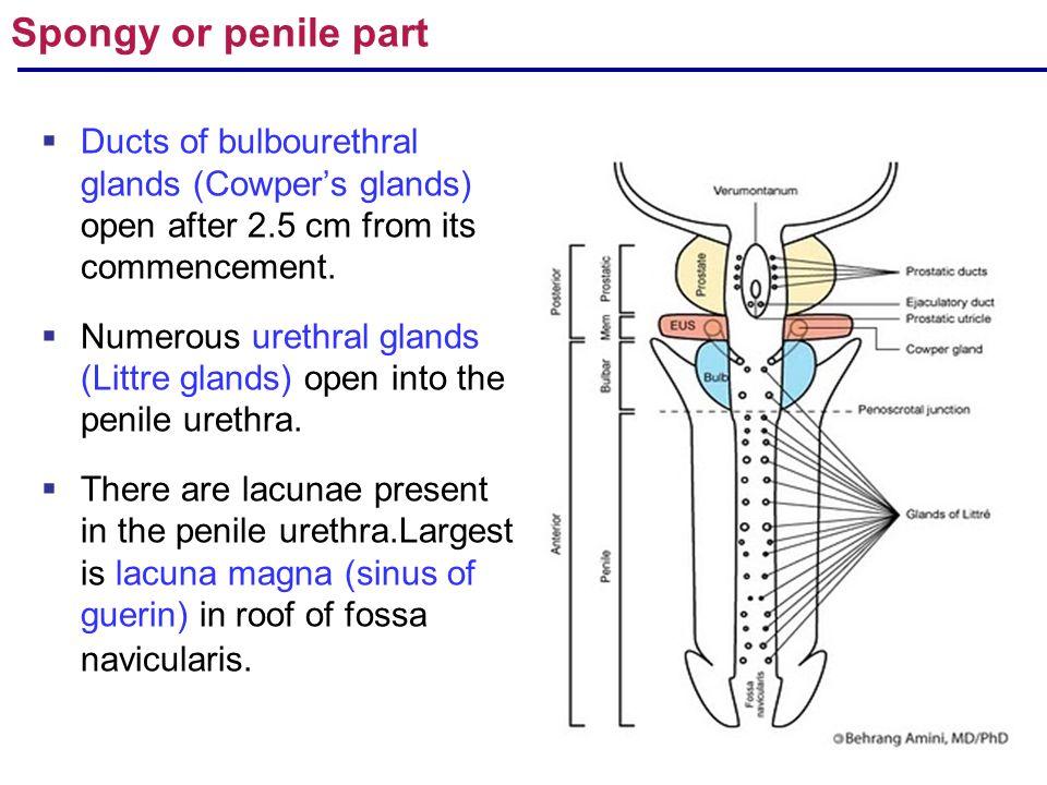 Anatomy Of Urinary Bladder Urethra Ppt Video Online Download