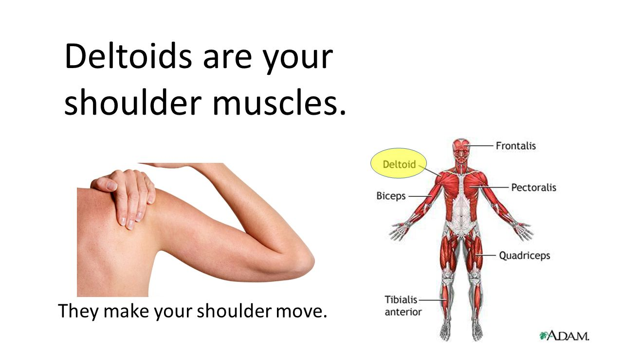 All About The Muscular System Ppt Download