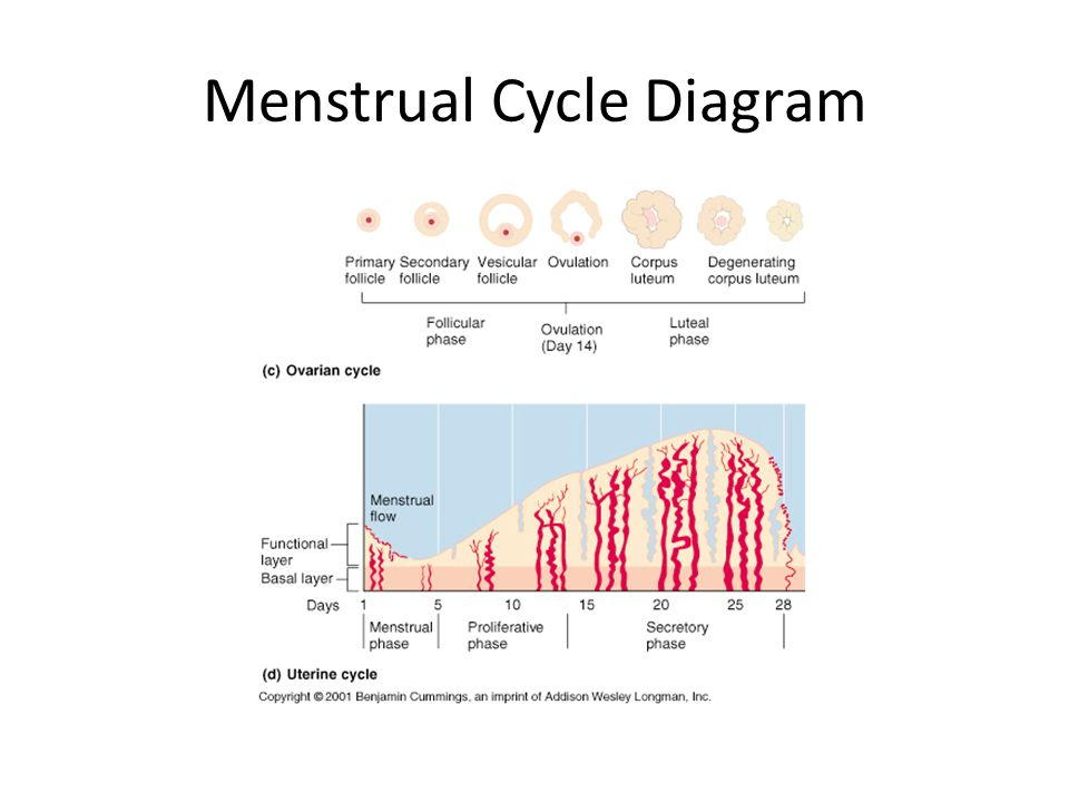 Menstrual conditions ppt download 8 menstrual cycle diagram ccuart Gallery
