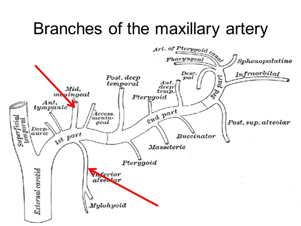 Branches Of Maxillary Artery Diagram - Illustration Of Wiring Diagram •