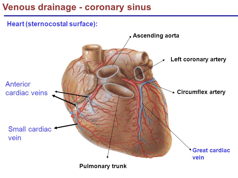 The Cardiovascular system: Blood supply & nerve supply of heart ...