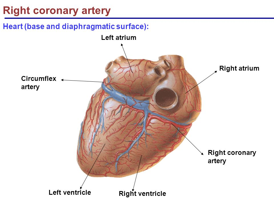 The Cardiovascular System Blood Supply Nerve Supply Of Heart