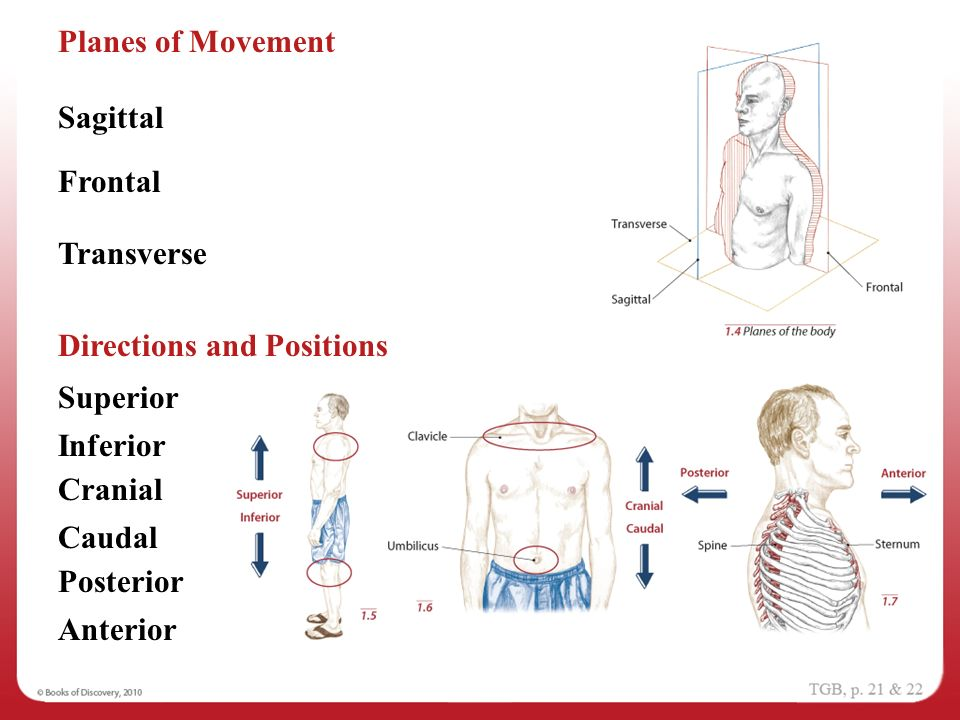 Anatomical Position 1 Navigating the Body. - ppt video ...