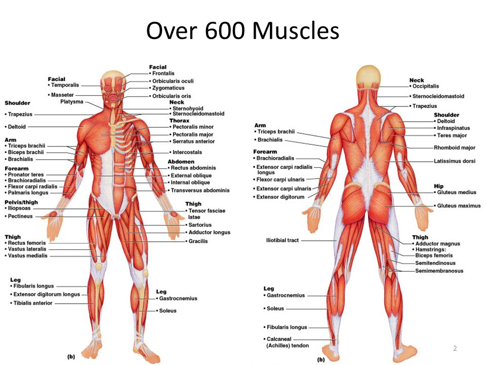 Muscles Head Neck And Torso Ppt Video Online Download