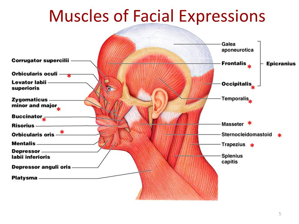 Muscles+of+Facial+Expressions muscles head, neck and torso ppt video online download