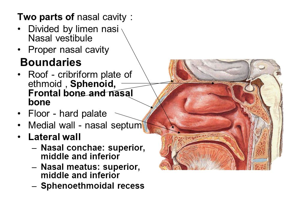 Two Parts Of Nasal Cavity A Divided By Limen Nasi Nasal Vestibule
