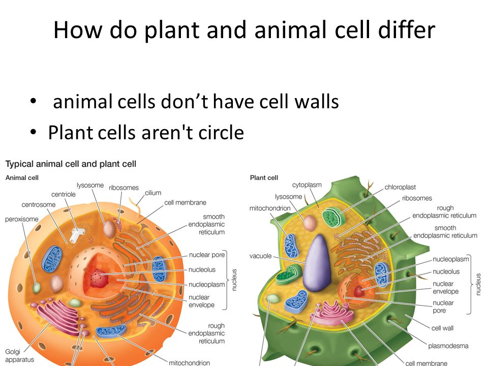 Animal And Plant Cells Ppt Download