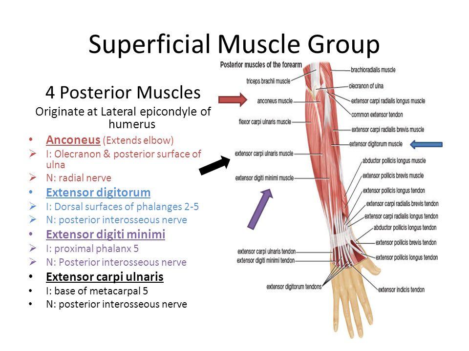 Dorsal Forearm Anatomy Gallery - human body anatomy