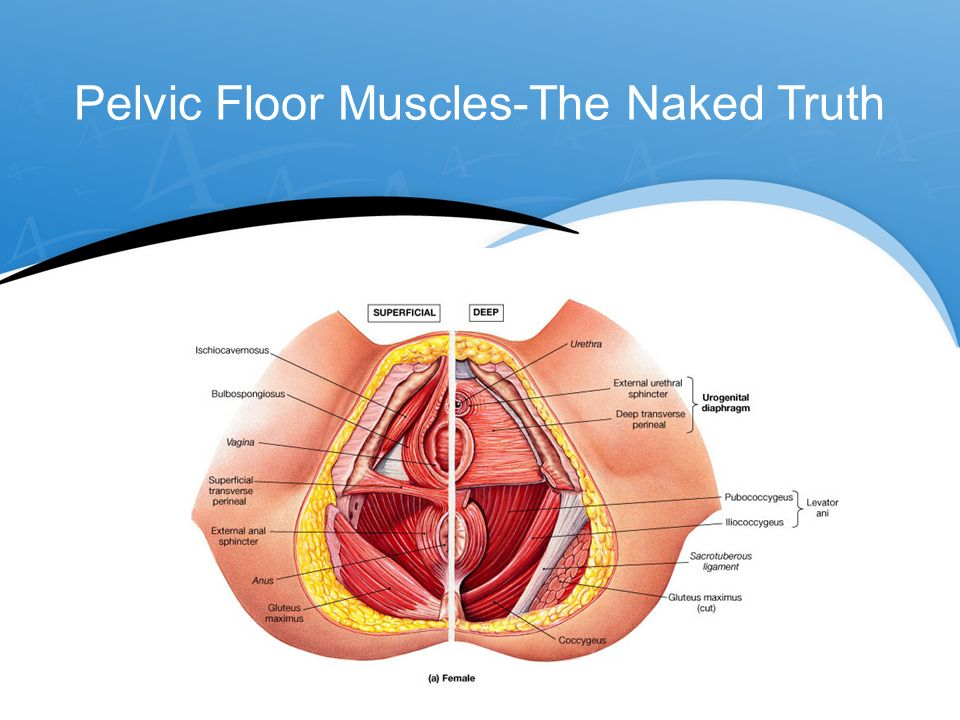 Unique Anatomy Of Pelvic Floor Muscles Sketch - Human Anatomy Images ...
