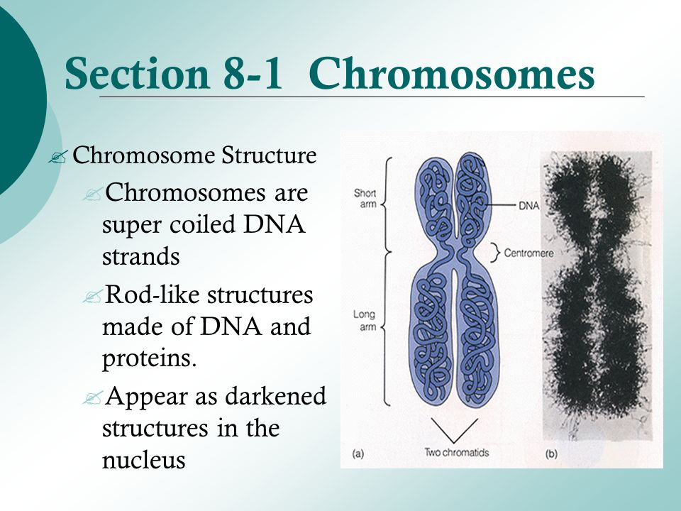 Section 8-1 Chromosomes Section 8-2 Cell Division Section 8 ...