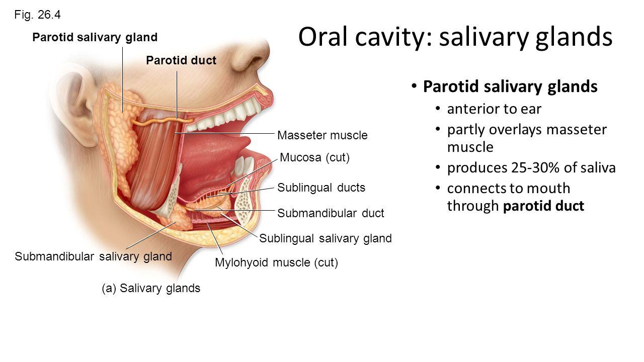 Chapter 26 Digestive System - ppt video online download