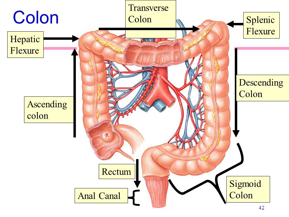 Anatomy Of The Digestive System Ppt Video Online Download