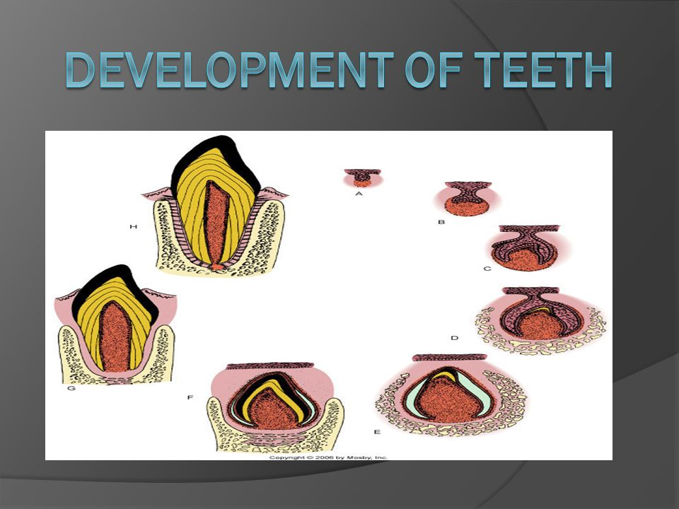 tooth development Tooth development as children grow and develop, so do their teeth, requiring differing levels of care as they age below we have outlined the different stages of tooth development before birth.