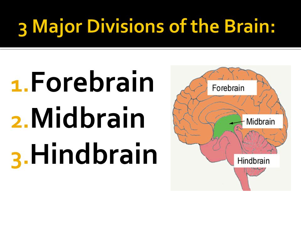 Anatomy Of The Brain Spinal Cord Ppt Video Online Download