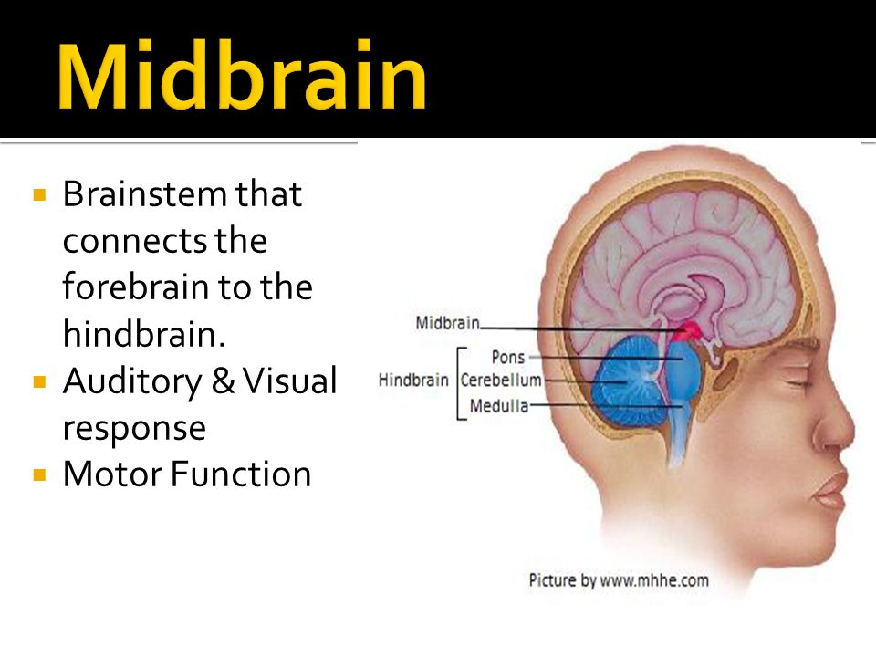 anatomy of the brain amp spinal cord ppt video online download