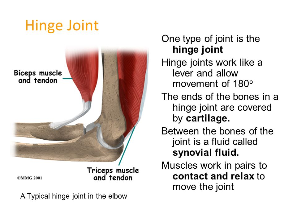 Ball And Socket Joint One Type Of Joint Is The Ball And Socket Ppt
