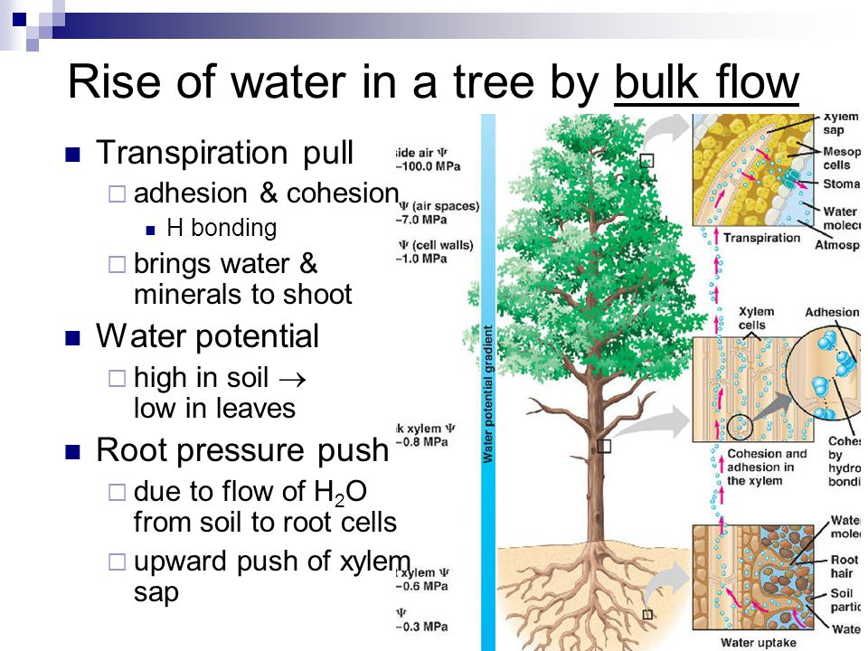 transpiration pull in plants pdf