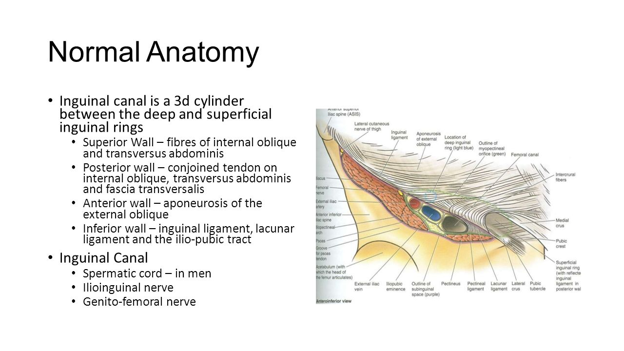 Anatomy Of Inguinal Ligament Gallery Human Body Anatomy