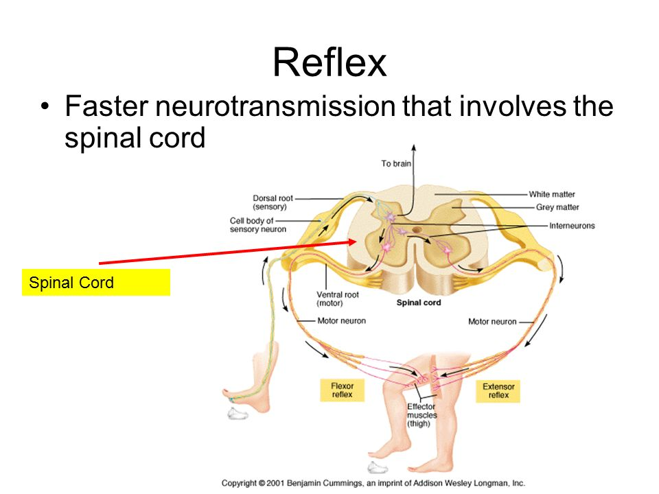Physiology and behavior neurotransmission ppt download 9 reflex faster neurotransmission that involves the spinal cord ccuart Gallery