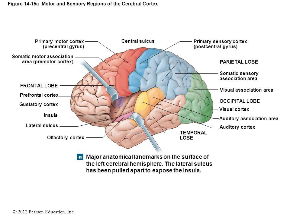 14 The Brain And Cranial Nerves Ppt Video Online Download