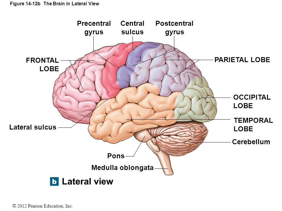 14 The Brain And Cranial Nerves Ppt Video Online Download The postcentral gyrus lies in the parietal lobe, posterior to the central sulcus. 14 the brain and cranial nerves ppt