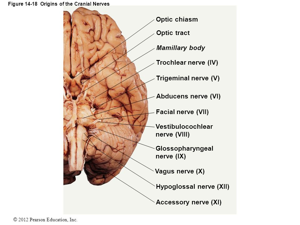 14 The Brain and Cranial Nerves. - ppt video online download