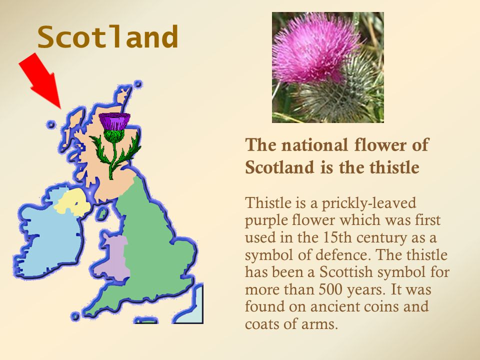 Scotland Flower Symbol Flowers Healthy