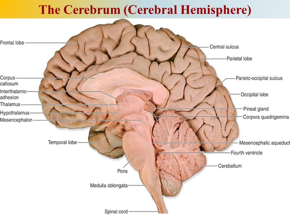Lecture: 2 Dr. Eyad M. Hussein Cerebral Hemispheres Ph.D of ...