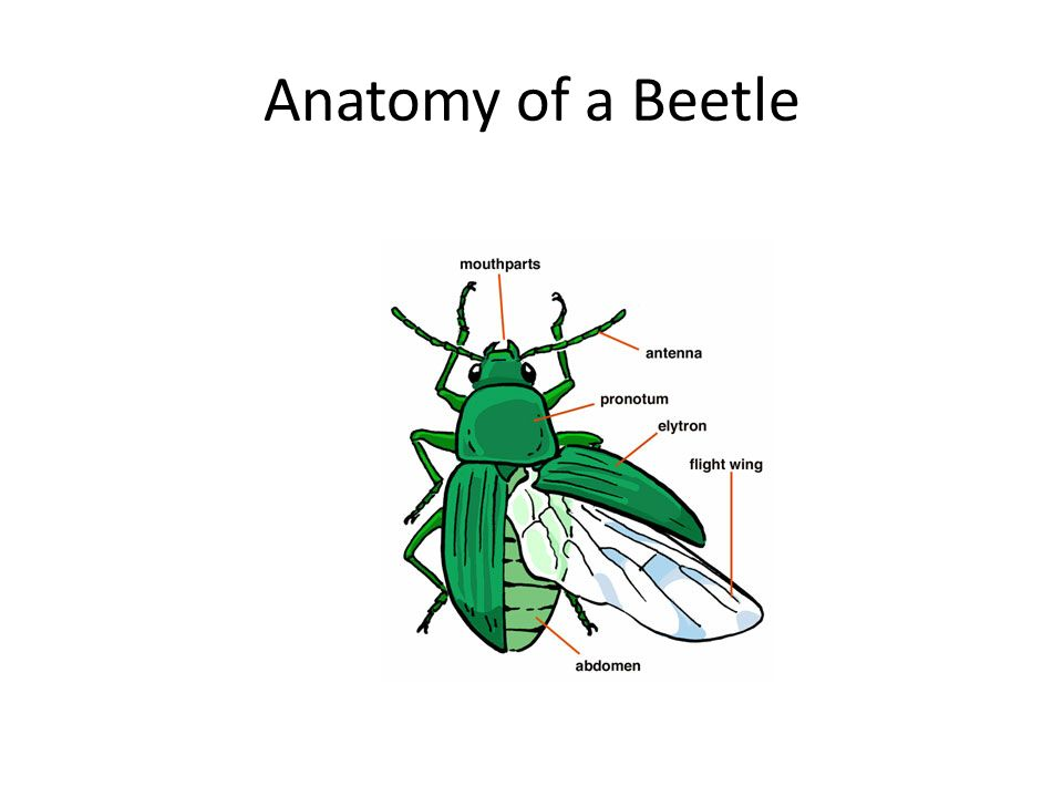 Insect Anatomy. - ppt video online download