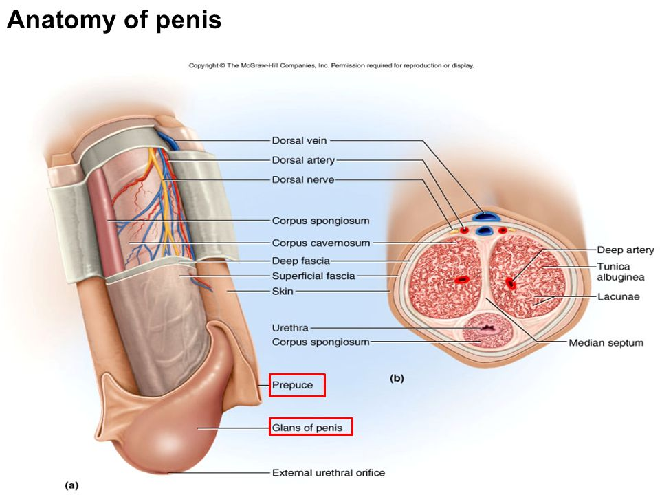 Just The Facts About How Your Penis Works And How To Keep It Healthy