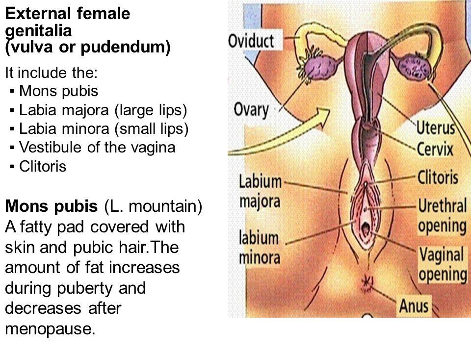Gross anatomy of Male & Female External Genitalia MBBS Yr. II - ppt ...