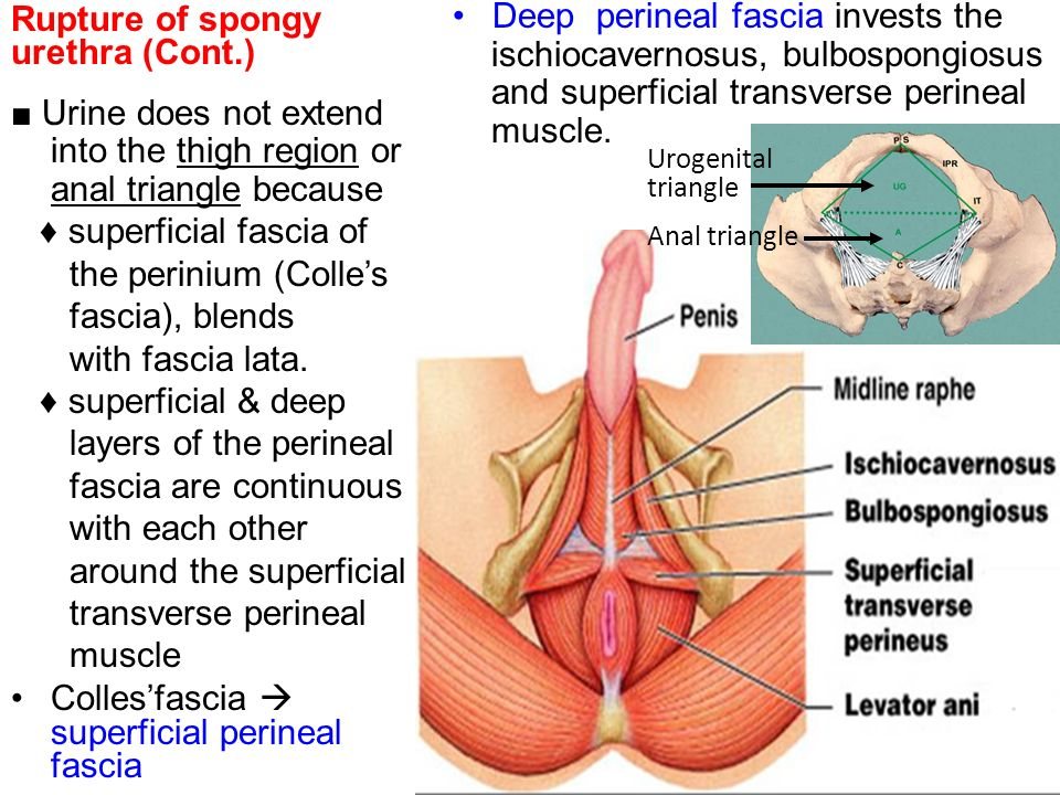 Famous Anatomy Of The Male Anus Mold - Image of internal organs of ...