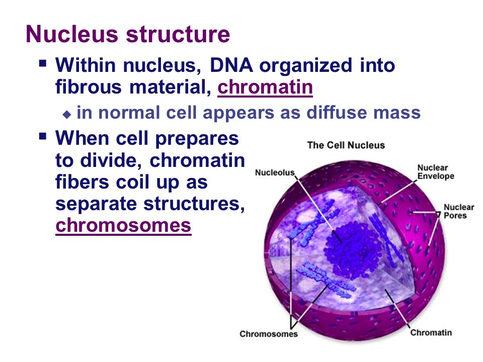 chapter 5 3 the cell nucleus ribosomes ppt download