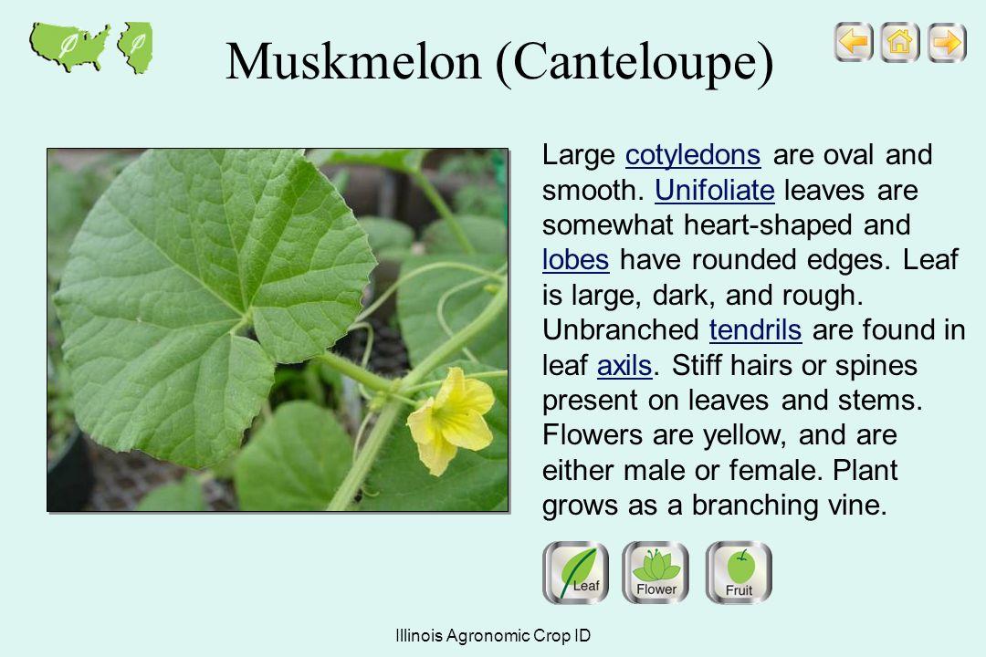 Illinois agronomic crop id ppt video online download 19 muskmelon canteloupe mightylinksfo