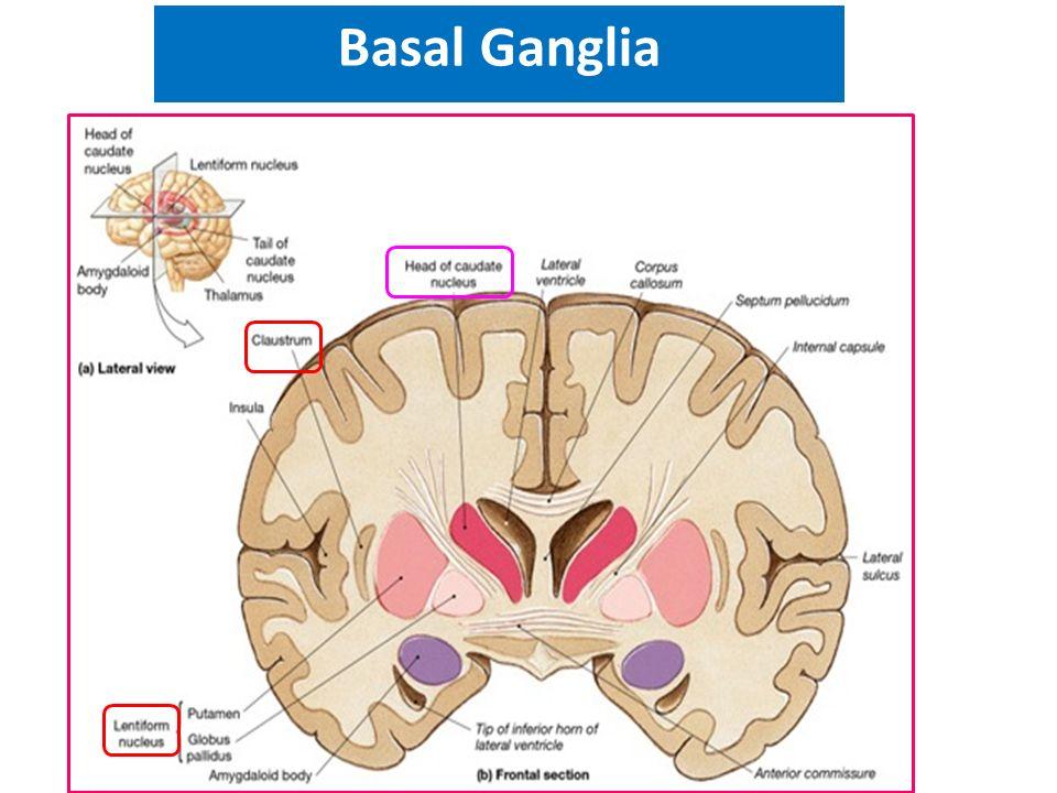Basal ganglia D.Nimer D.Rania Gabr D.Safaa D.Elsherbiny. - ppt video ...
