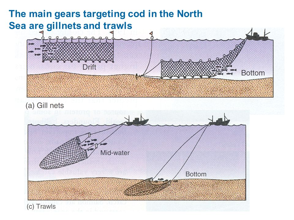 The main gears targeting cod in the North Sea are gillnets and trawls
