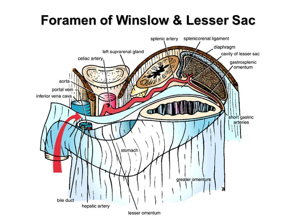 Abdominal Cavity Peritoneum Git Ppt Download
