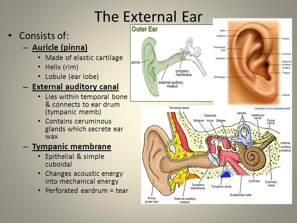 Anatomy Of External Ear Pinna Image collections - human body anatomy