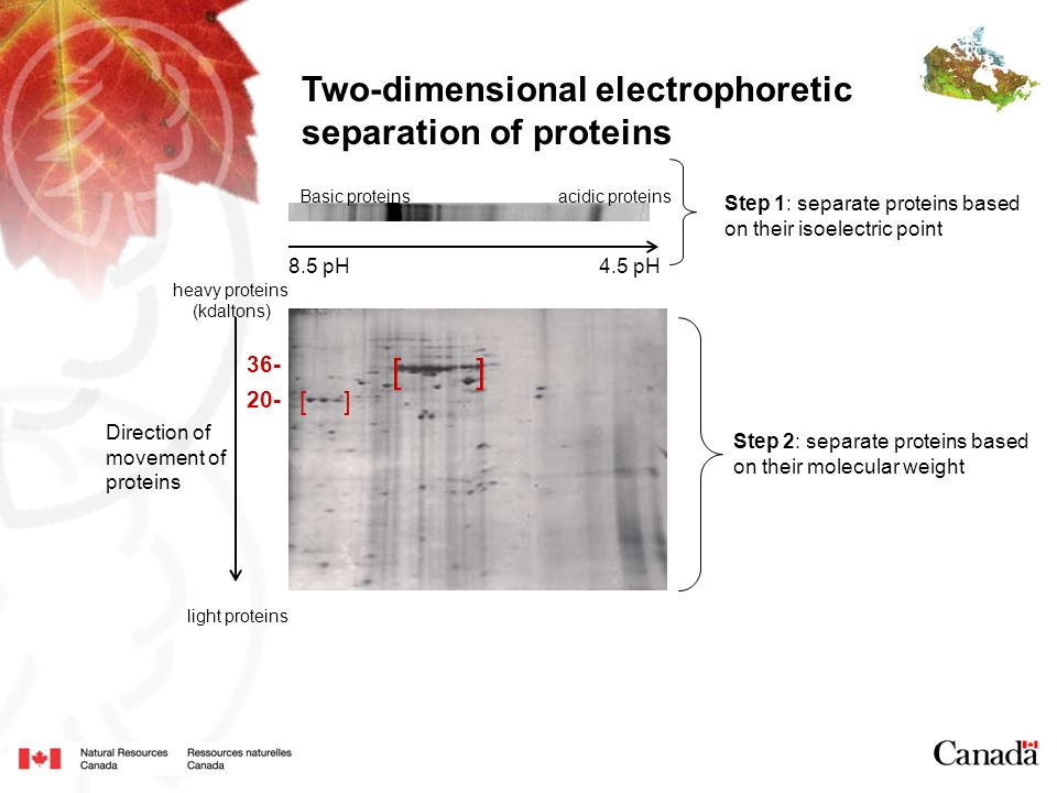 Two-dimensional electrophoretic separation of proteins