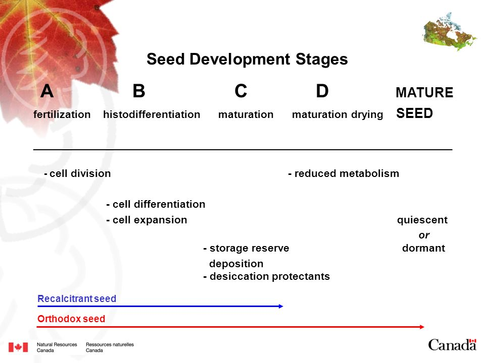 A B C D MATURE Seed Development Stages