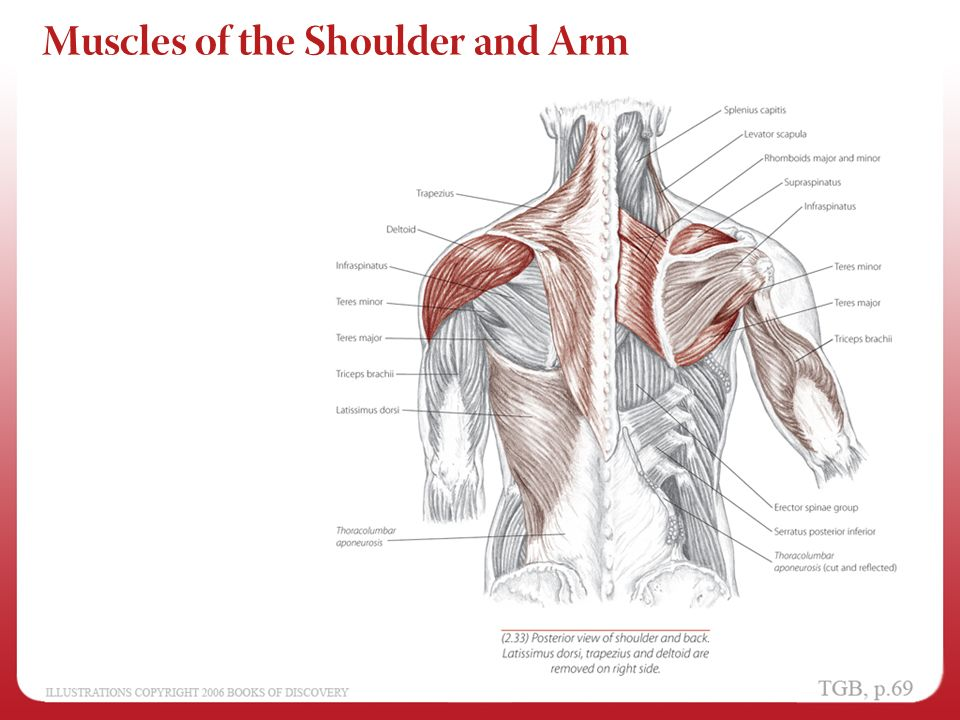 Chapter 2 Shoulder And Arm Ppt Video Online Download