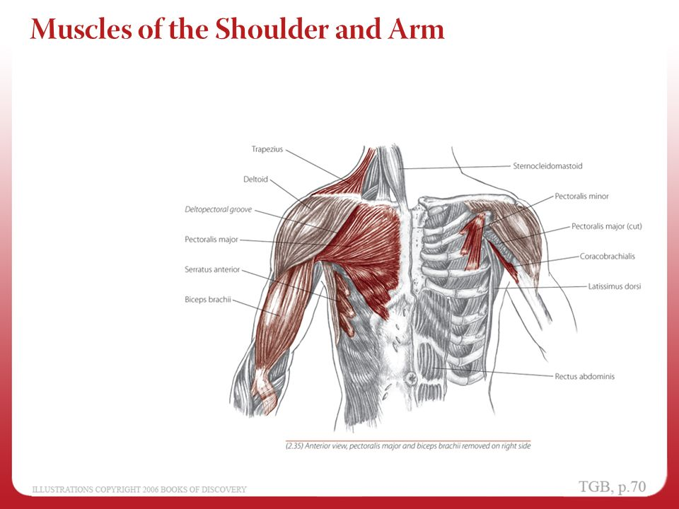 Chapter 2 - Shoulder and Arm - ppt video online download