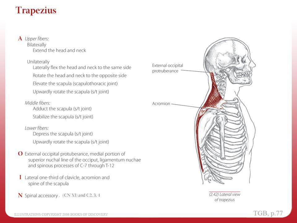 Chapter 2 - Shoulder and Arm - ppt video online download