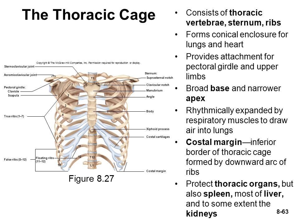 the organs protected by the thoracic cage include the