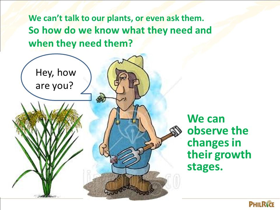 Growth Stages of the Rice Plant - ppt video online download