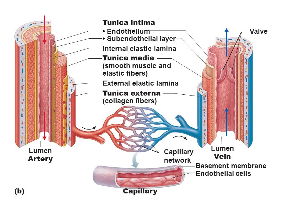 Artery Vs Vein Structure Diagram Wiring Diagram Electricity