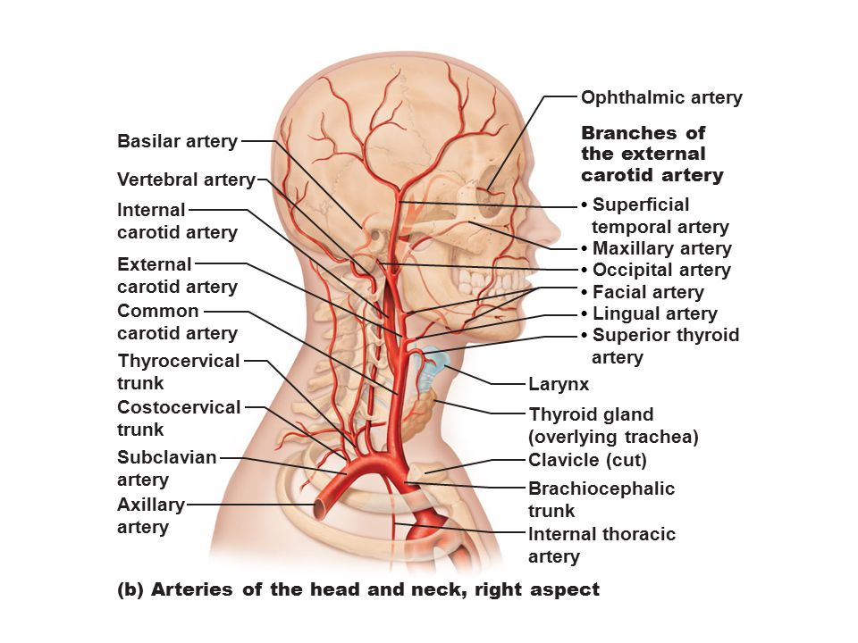 Figure 19.1a Generalized structure of arteries, veins, and ...