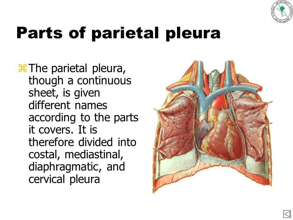 The pleura By Dr. Akram Abood Jaffar December ppt video online download